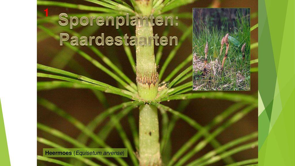 Sporenplanten: Paardestaarten