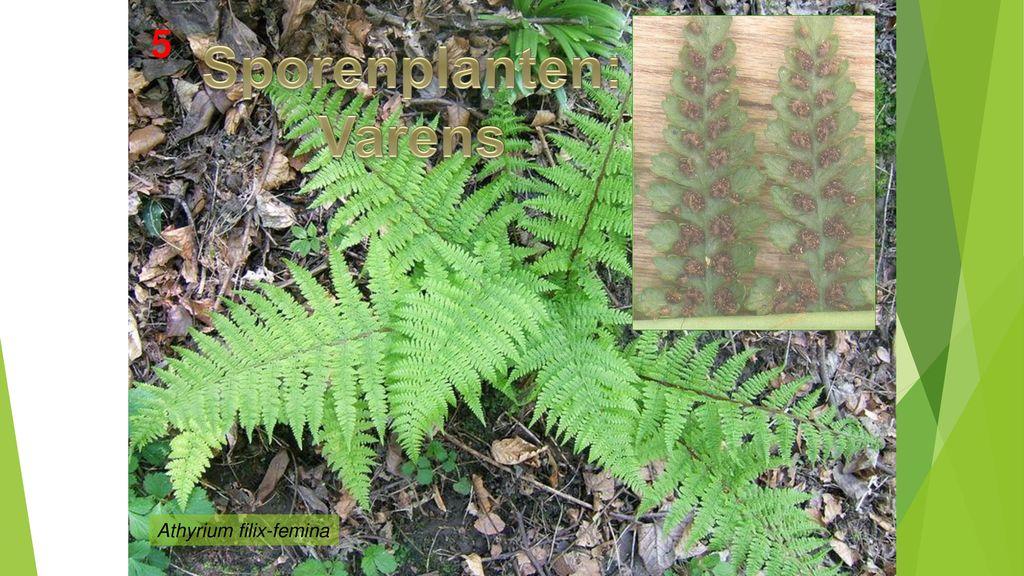 Sporenplanten: Varens