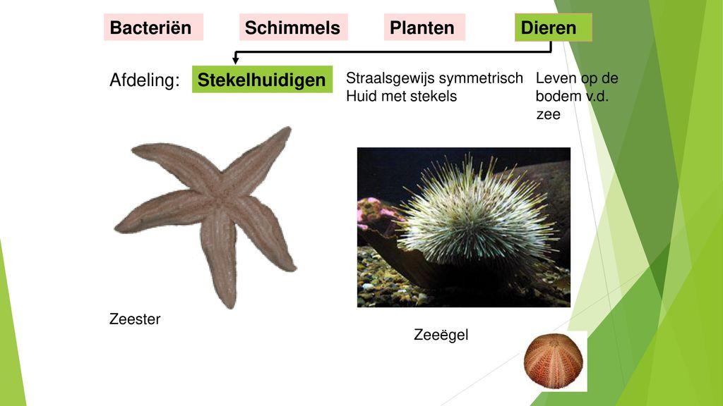 Bacteriën Schimmels Planten Dieren Afdeling: Stekelhuidigen