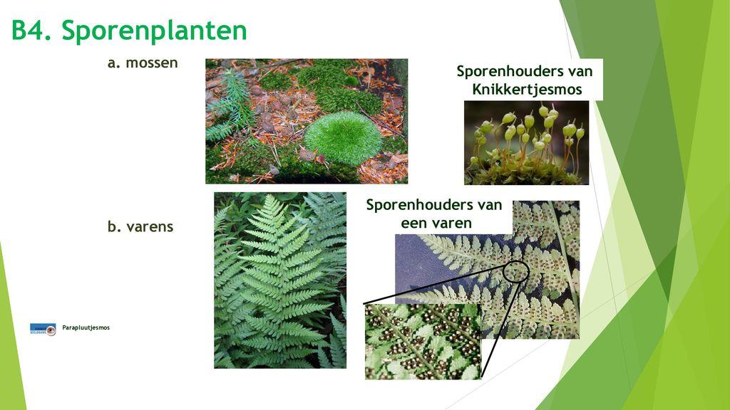 B4. Sporenplanten a. mossen Sporenhouders van Knikkertjesmos b. varens