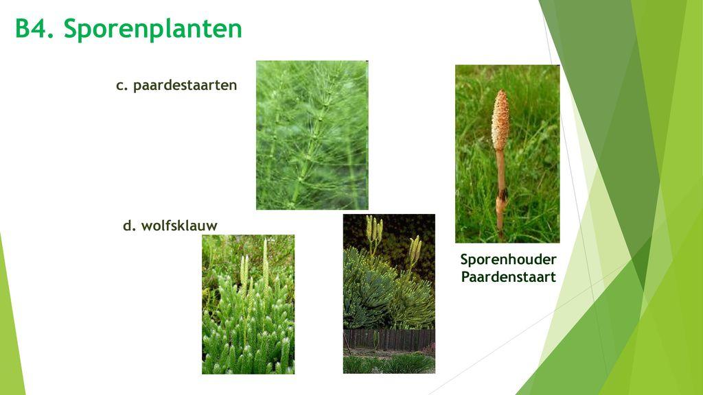 B4. Sporenplanten c. paardestaarten Sporenhouder Paardenstaart