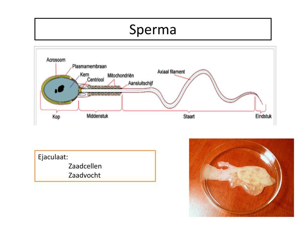 Sperma Ejaculaat: Zaadcellen Zaadvocht