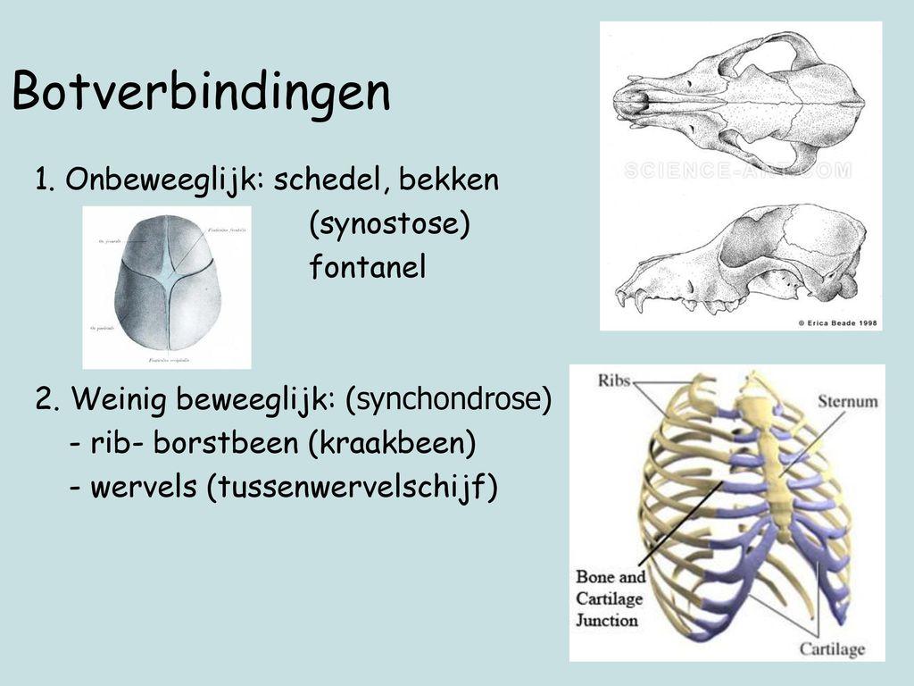 Botverbindingen 1. Onbeweeglijk: schedel, bekken (synostose) fontanel