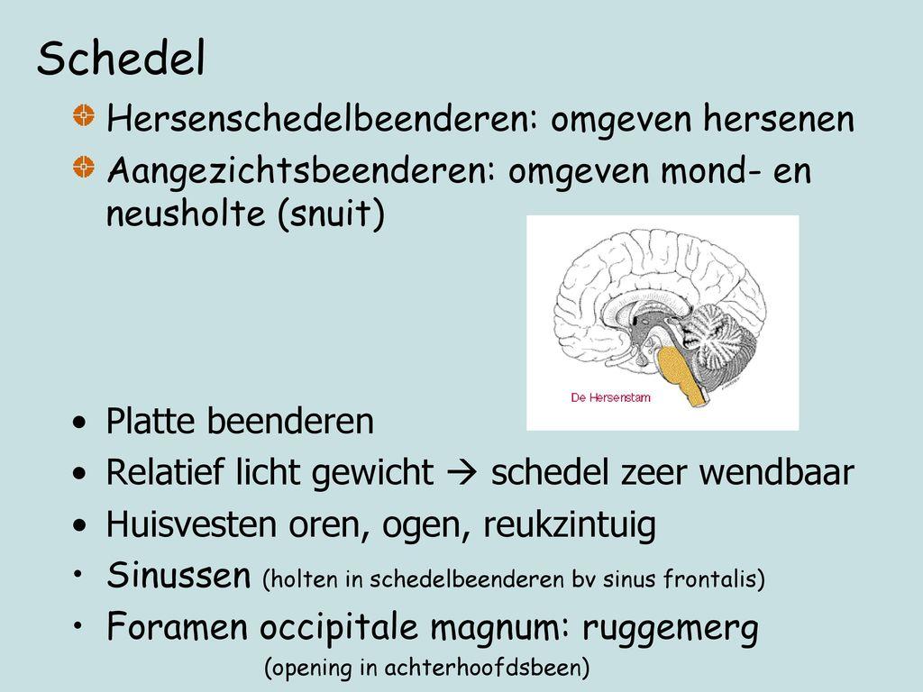 Schedel Hersenschedelbeenderen: omgeven hersenen