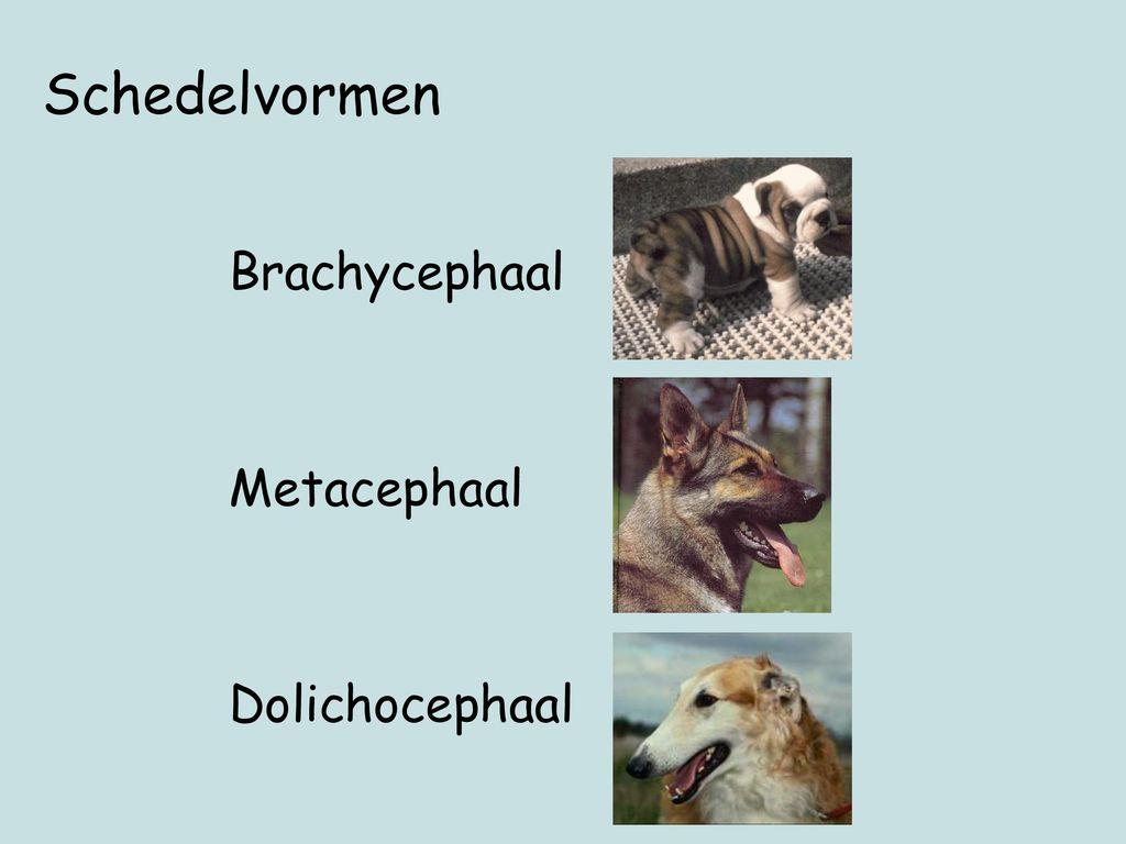 Schedelvormen Brachycephaal Metacephaal Dolichocephaal P43.