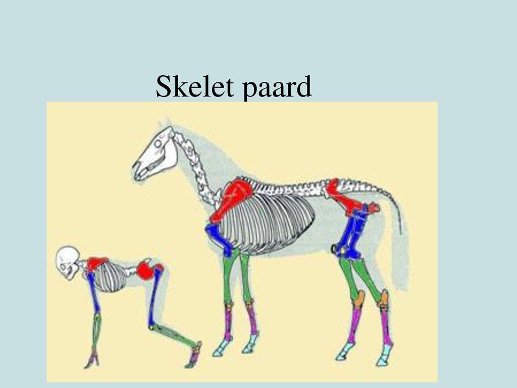 Skelet paard