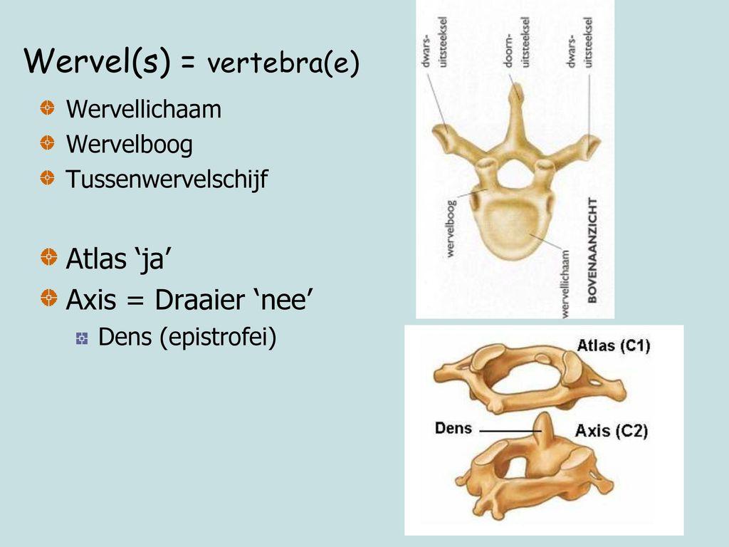 Wervel(s) = vertebra(e)