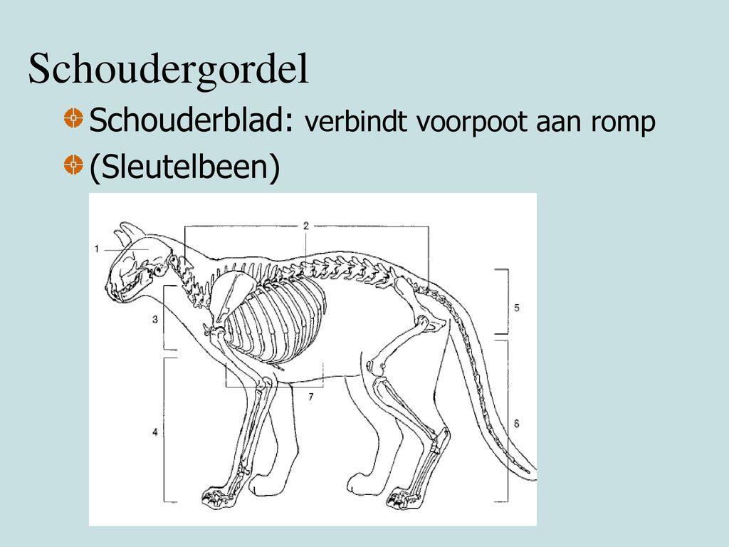 Schoudergordel Schouderblad: verbindt voorpoot aan romp (Sleutelbeen)