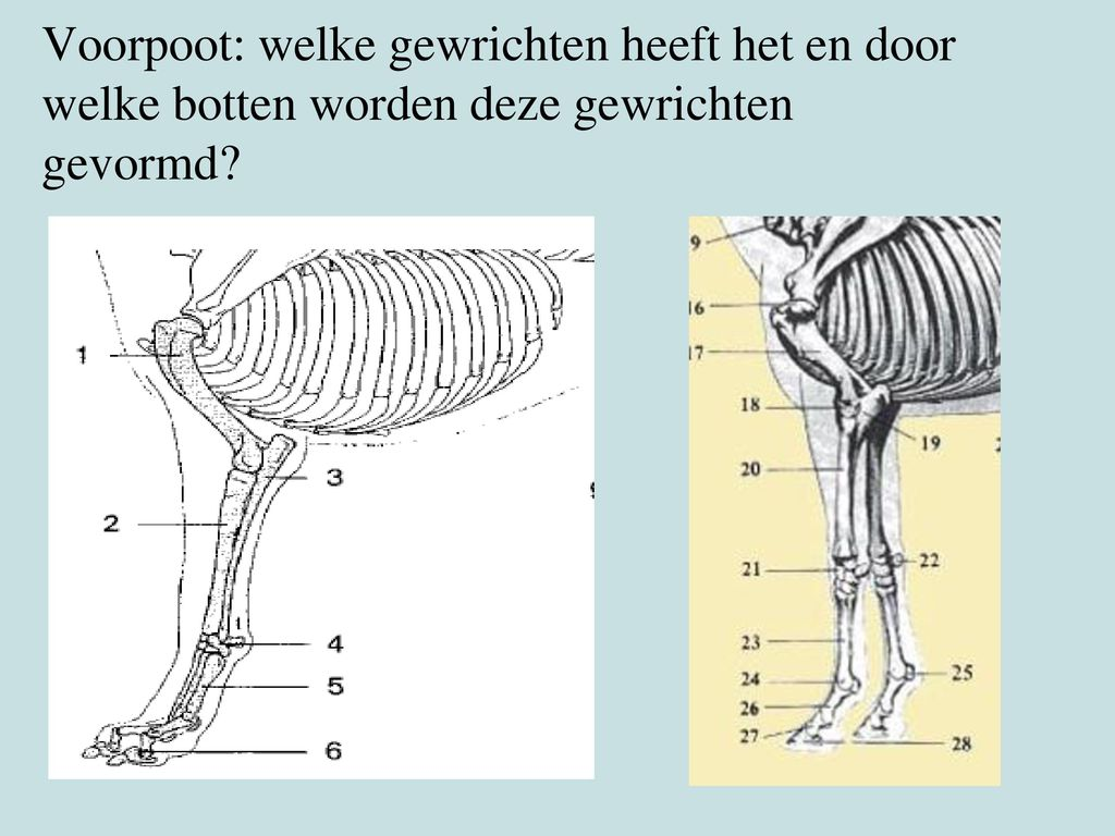 Voorpoot: welke gewrichten heeft het en door welke botten worden deze gewrichten gevormd