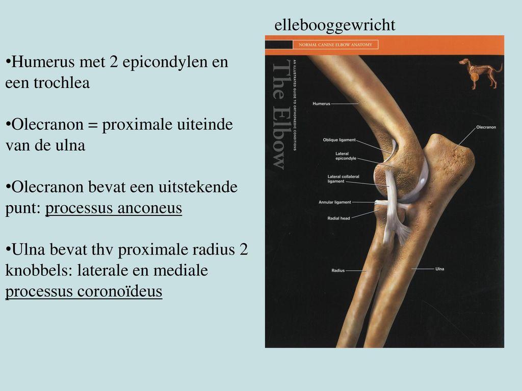 ellebooggewricht Humerus met 2 epicondylen en een trochlea. Olecranon = proximale uiteinde van de ulna.