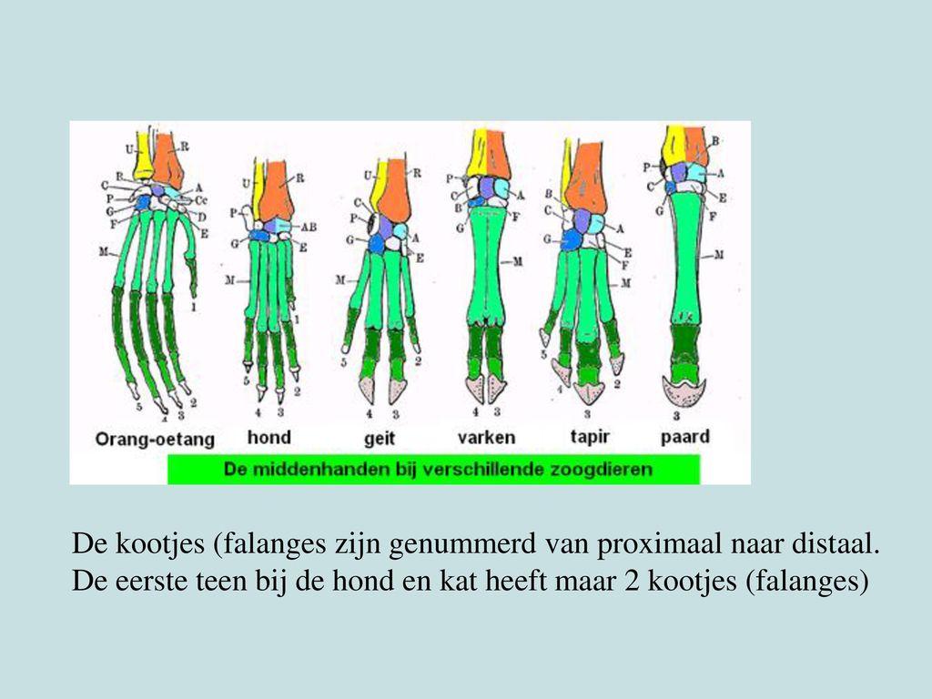 De kootjes (falanges zijn genummerd van proximaal naar distaal.