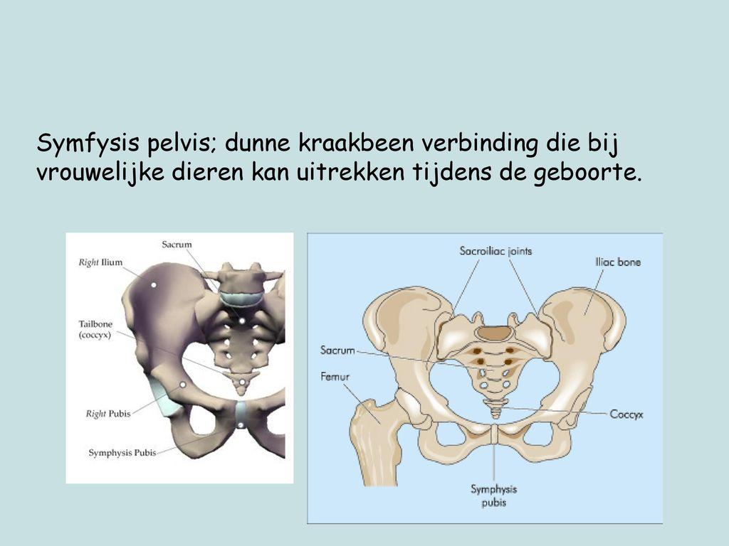 Symfysis pelvis; dunne kraakbeen verbinding die bij vrouwelijke dieren kan uitrekken tijdens de geboorte.