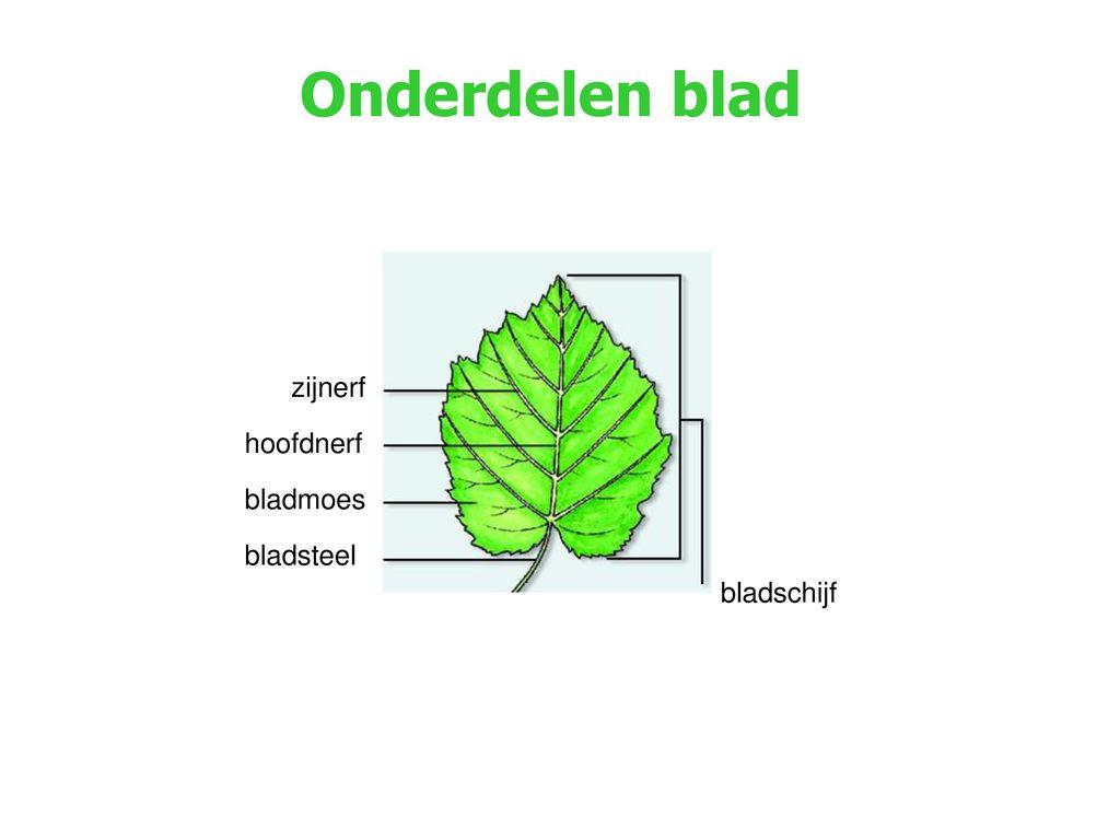 Onderdelen blad zijnerf hoofdnerf bladmoes bladsteel bladschijf
