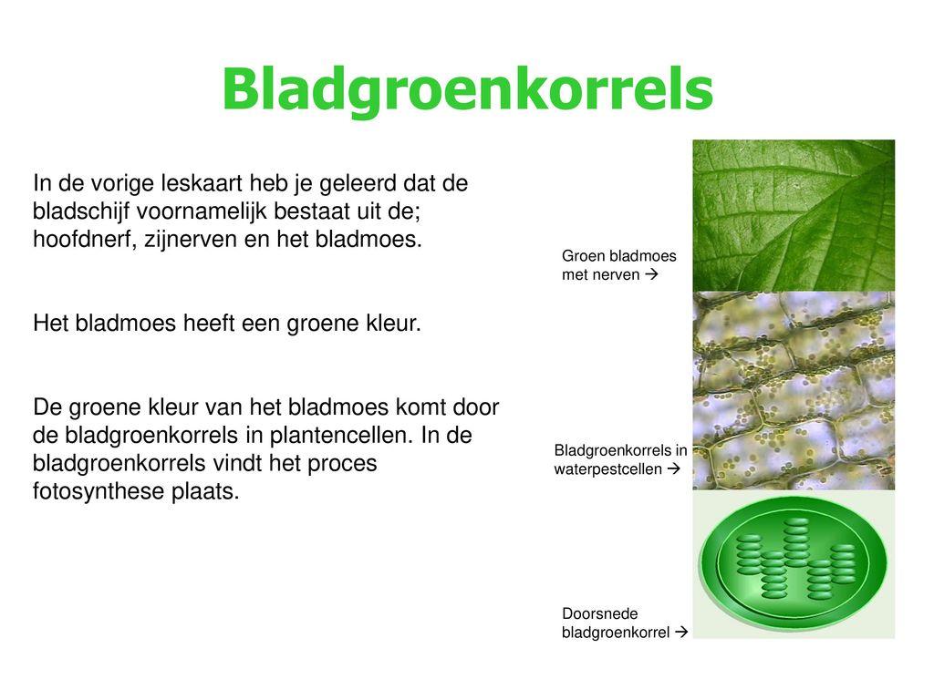 Bladgroenkorrels In de vorige leskaart heb je geleerd dat de bladschijf voornamelijk bestaat uit de; hoofdnerf, zijnerven en het bladmoes.