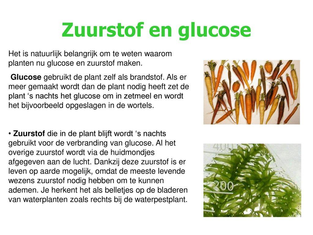 Zuurstof en glucose Het is natuurlijk belangrijk om te weten waarom planten nu glucose en zuurstof maken.