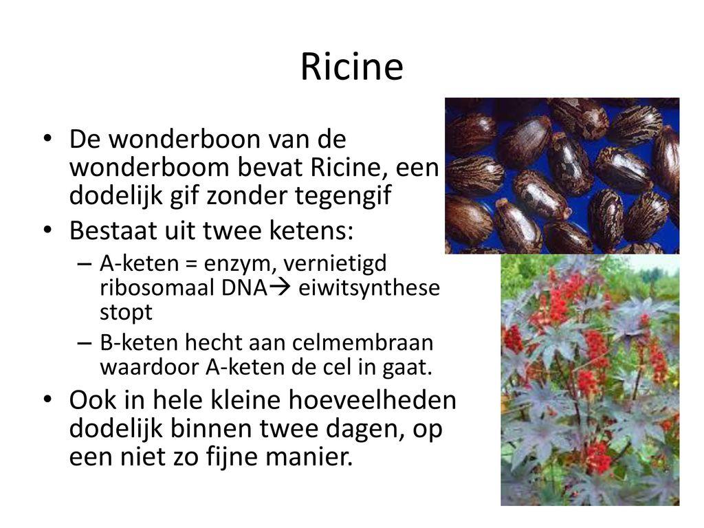 Ricine De wonderboon van de wonderboom bevat Ricine, een dodelijk gif zonder tegengif. Bestaat uit twee ketens: