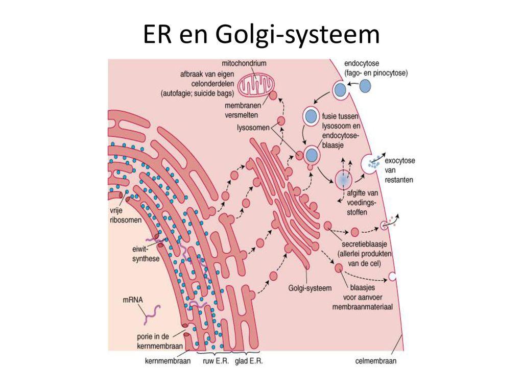 ER en Golgi-systeem