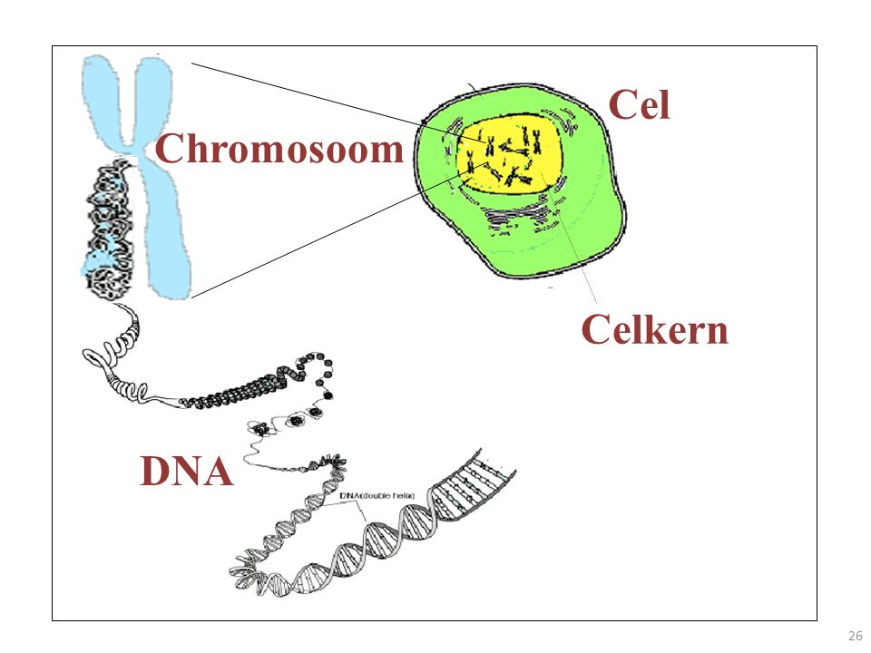 Cel Chromosoom Celkern DNA
