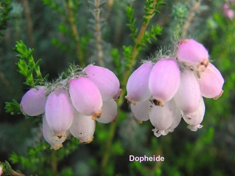 Dopheide
