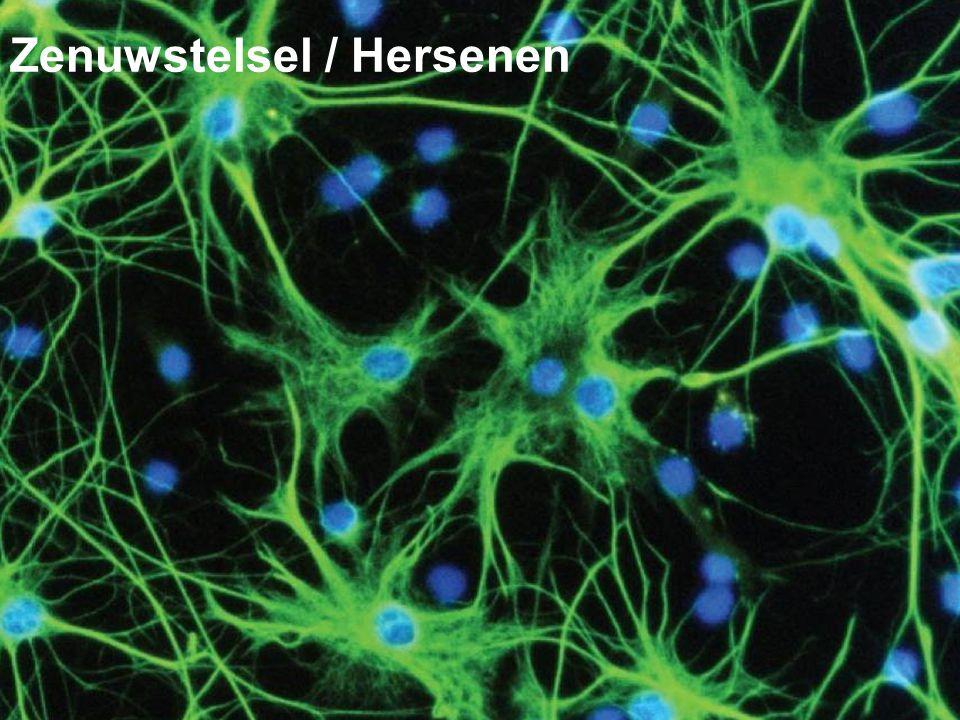 Zenuwstelsel / Hersenen