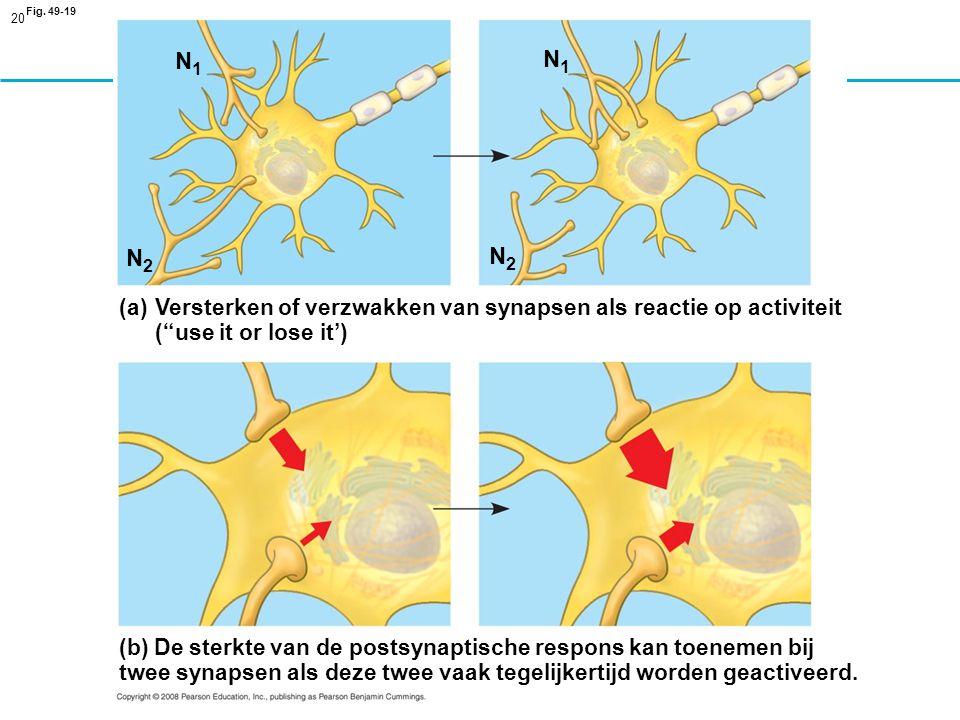 Fig. 49-19 N1. N1. N2. N2. Versterken of verzwakken van synapsen als reactie op activiteit. ( use it or lose it')