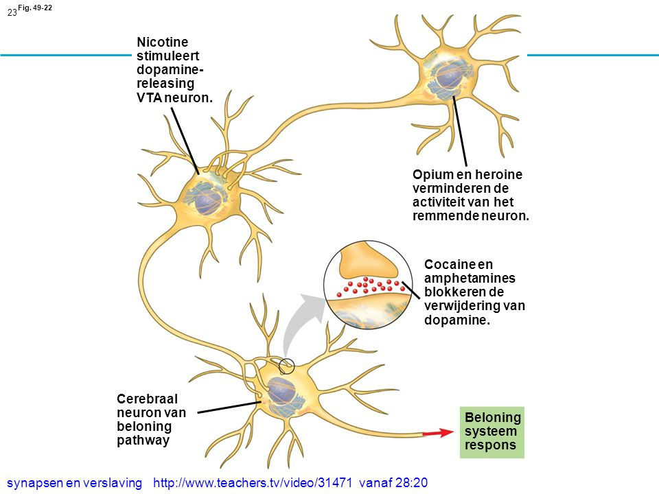verminderen de activiteit van het remmende neuron.