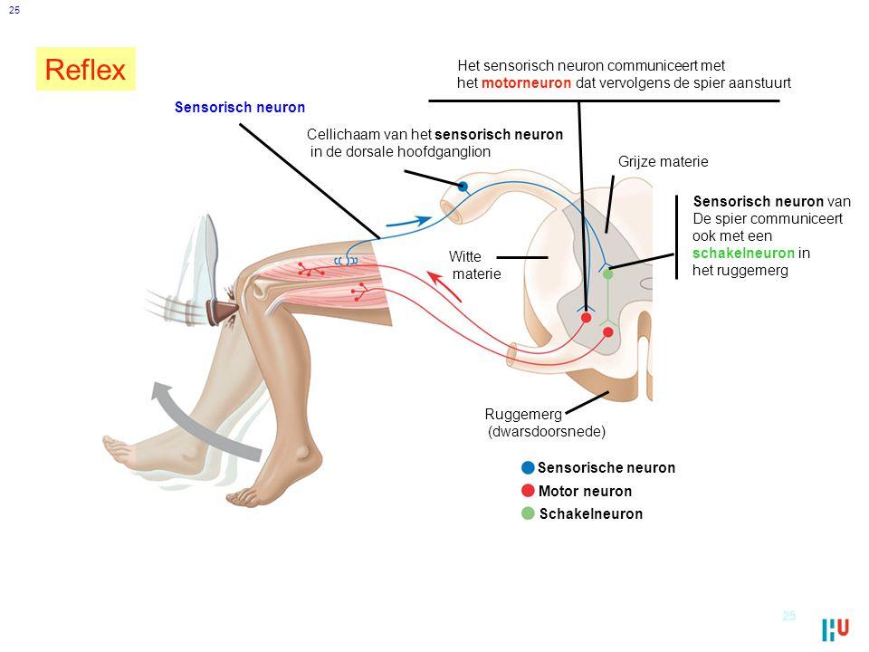 Reflex Het sensorisch neuron communiceert met