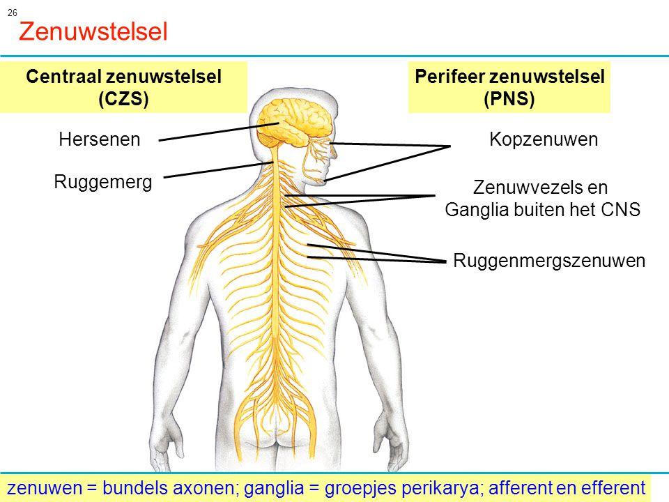 Centraal zenuwstelsel (CZS) Perifeer zenuwstelsel