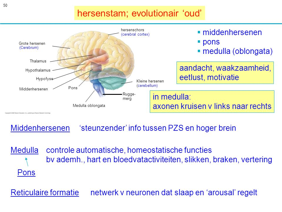 hersenstam; evolutionair 'oud'