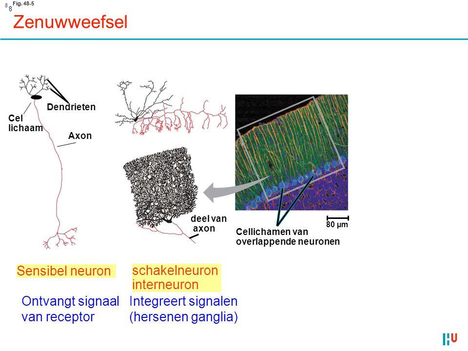 Zenuwweefsel Sensibel neuron schakelneuron interneuron Stuurt signaal