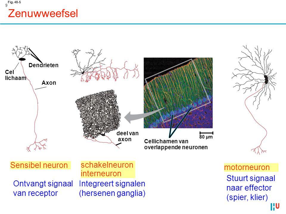 Zenuwweefsel Sensibel neuron schakelneuron interneuron motorneuron