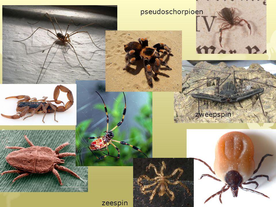 pseudoschorpioen zweepspin zweepspin zeespin