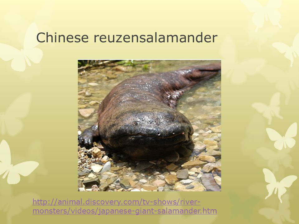 Chinese reuzensalamander