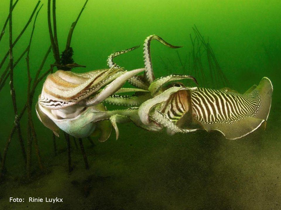 Dit zijn sepia's, een inktvis die veel duikers naar Zeeland trekt