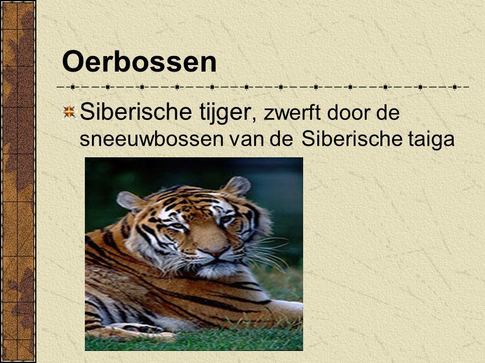 Oerbossen Siberische tijger, zwerft door de sneeuwbossen van de Siberische taiga