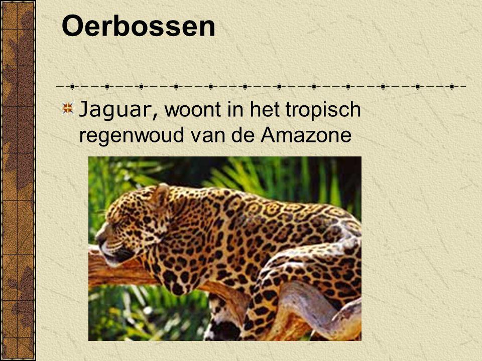 Oerbossen Jaguar, woont in het tropisch regenwoud van de Amazone