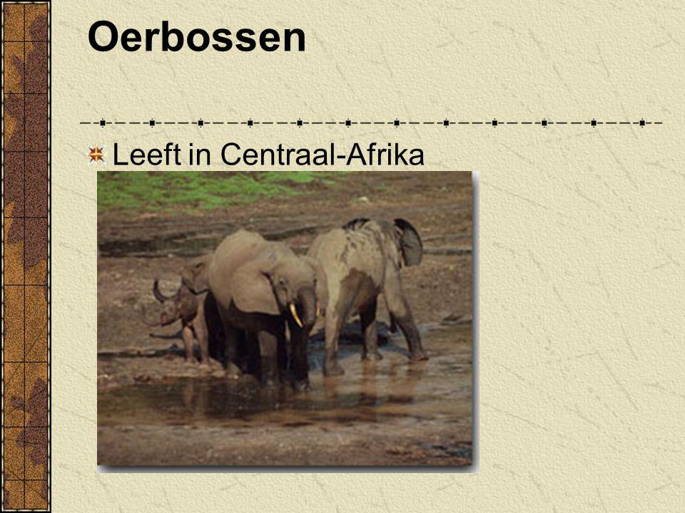 Oerbossen Leeft in Centraal-Afrika