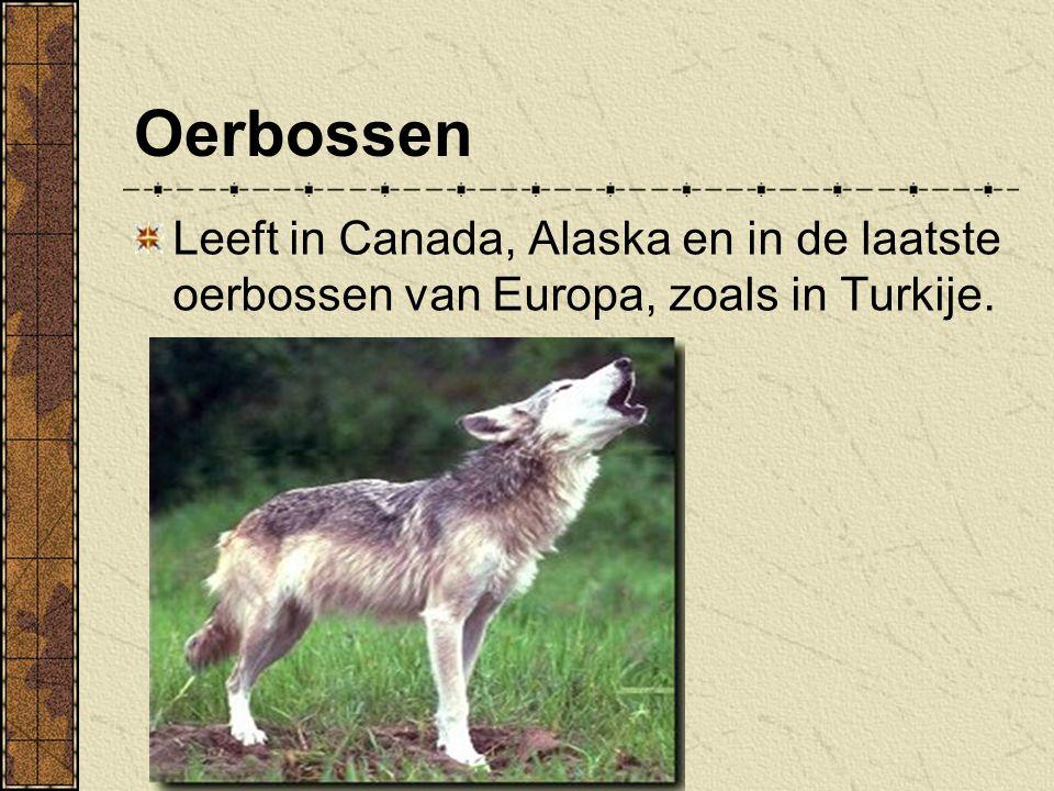 Oerbossen Leeft in Canada, Alaska en in de laatste oerbossen van Europa, zoals in Turkije.