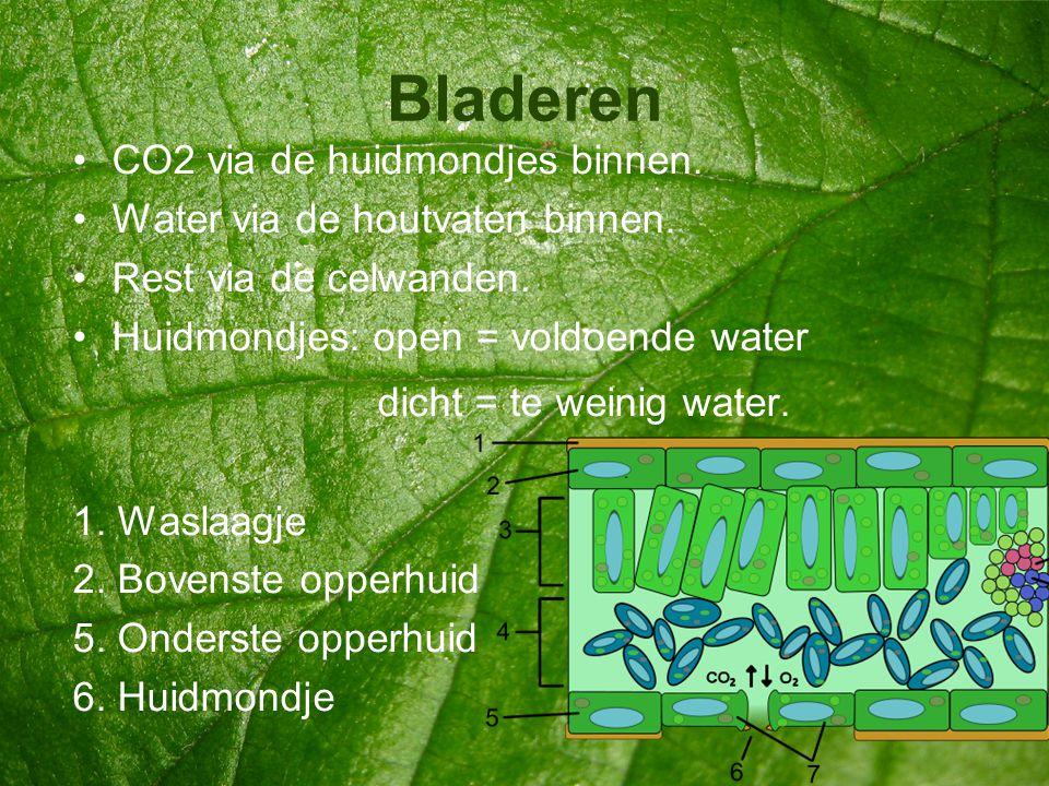 Bladeren CO2 via de huidmondjes binnen. Water via de houtvaten binnen.