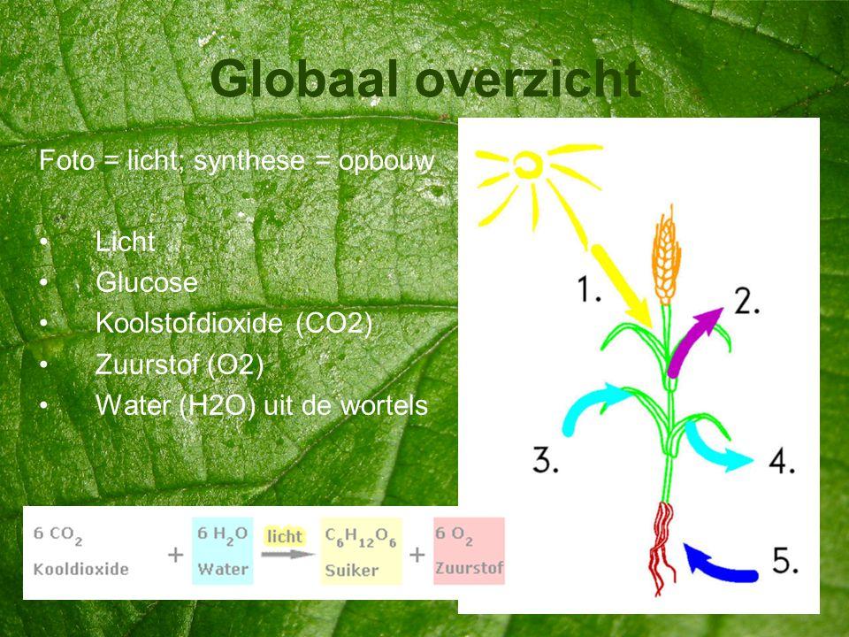 Globaal overzicht Foto = licht; synthese = opbouw Licht Glucose