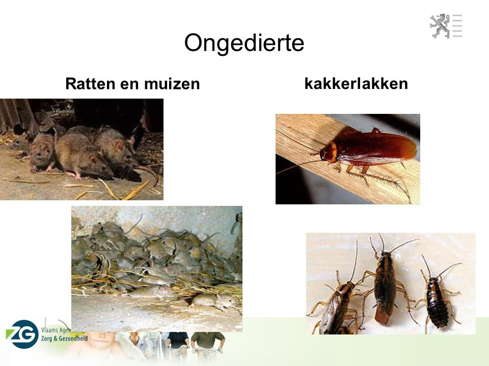 Ongedierte kakkerlakken Ratten en muizen