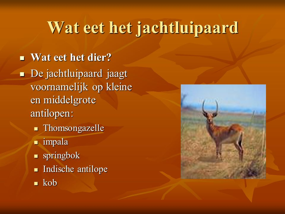 Wat eet het jachtluipaard