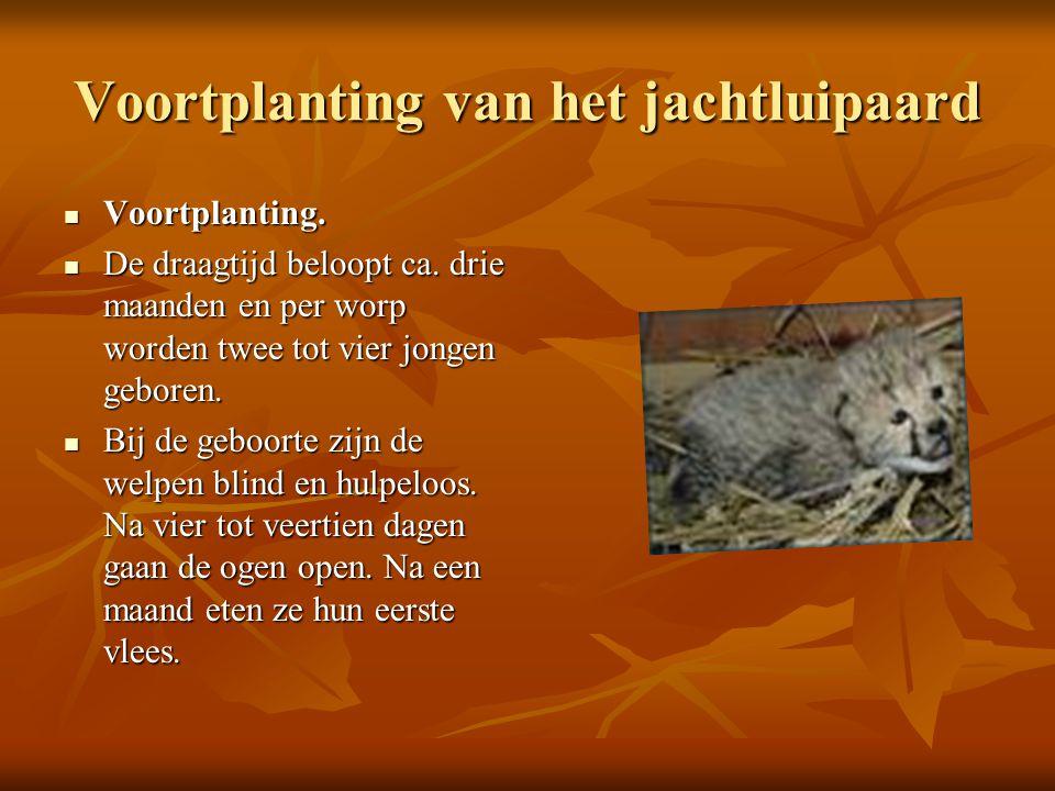 Voortplanting van het jachtluipaard