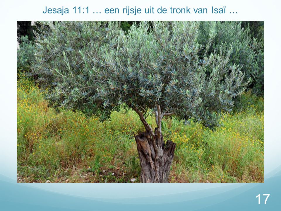 Jesaja 11:1 … een rijsje uit de tronk van Isaï …