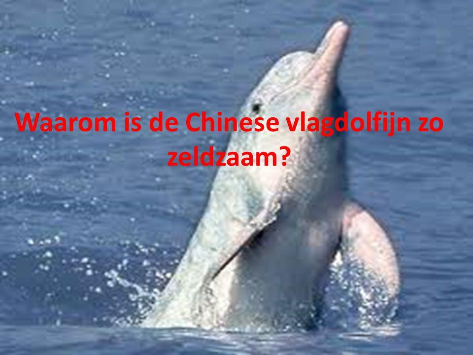 Waarom is de Chinese vlagdolfijn zo zeldzaam