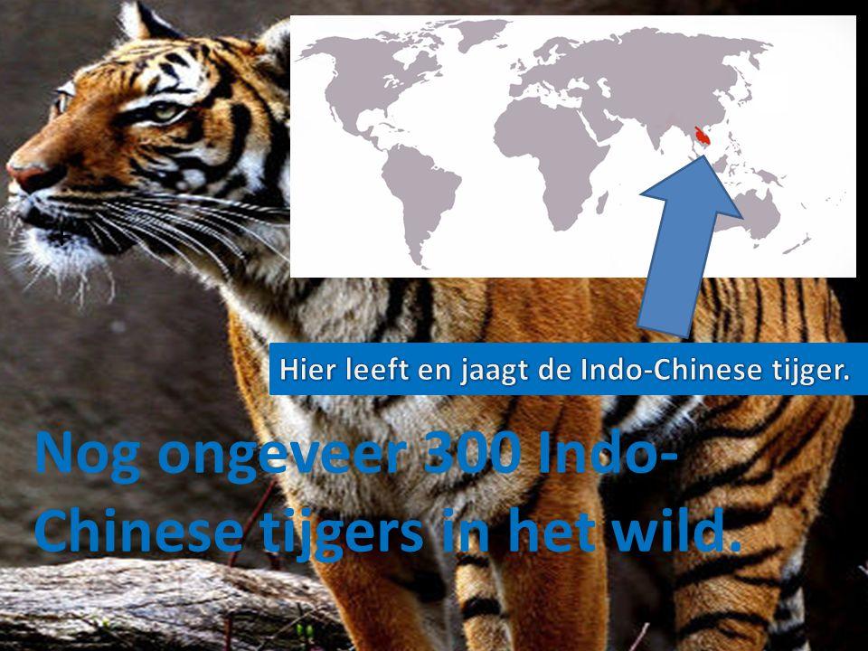 Nog ongeveer 300 Indo-Chinese tijgers in het wild.