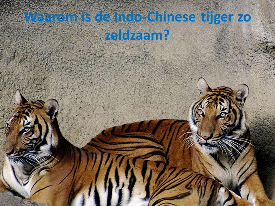 Waarom is de Indo-Chinese tijger zo zeldzaam