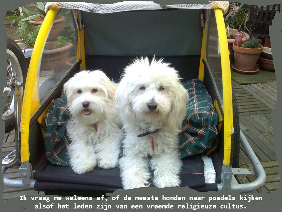 Ik vraag me weleens af, of de meeste honden naar poedels kijken