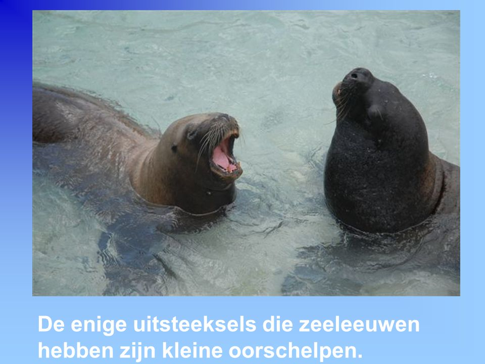 De enige uitsteeksels die zeeleeuwen hebben zijn kleine oorschelpen.