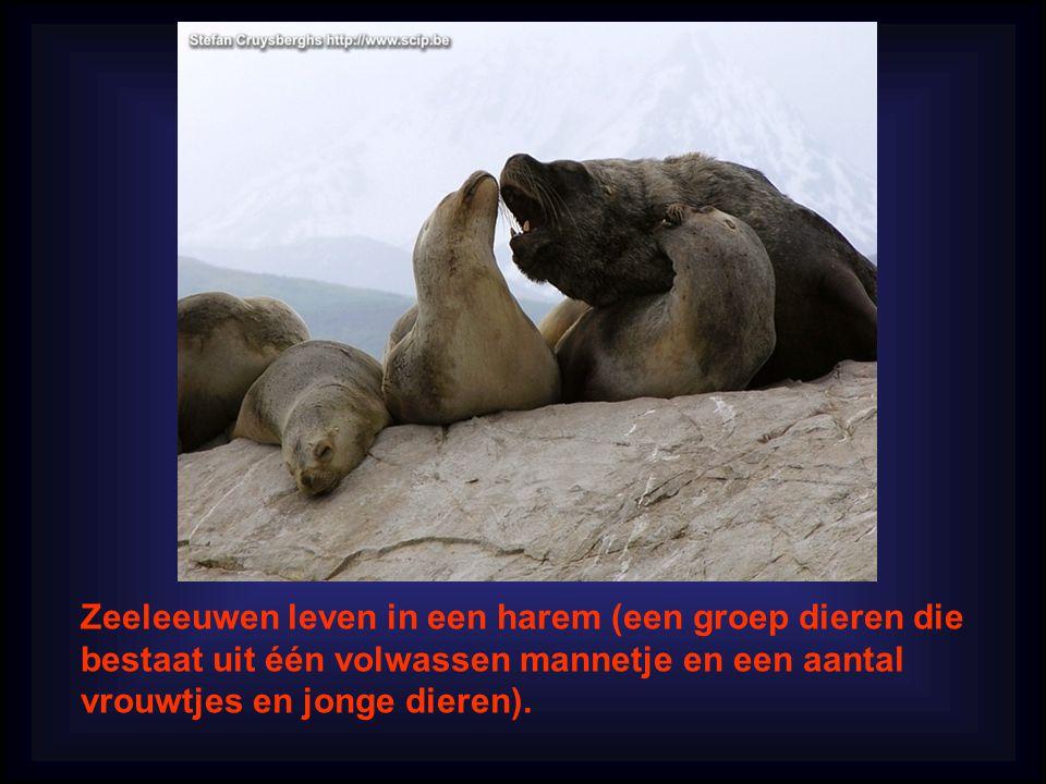 Zeeleeuwen leven in een harem (een groep dieren die bestaat uit één volwassen mannetje en een aantal vrouwtjes en jonge dieren).